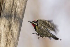 Yellow-bellied Sapsucker in flight Stock Photo