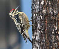 Yellow-bellied Sapsucker L. Yellow-bellied sapsucker on the left of image on a tree trunk royalty free stock photo