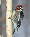 Yellow- bellied Sapsucker (Sphyrapicus varius) Stock Photos