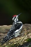 Yellow-bellied Sapsucker (Sphyrapicus varius) Royalty Free Stock Photo