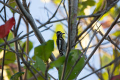 Yellow-bellied Sapsucker Royalty Free Stock Photography
