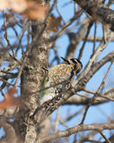 Yellow-bellied Sapsucker, Sphyrapicus varius, Stock Photography