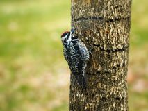 Yellow-bellied Sapsucker, Sphyrapicus varius, and holes that it drilled in tree trunk stock image