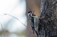 Yellow-bellied Sapsucker on a tree, doing as his name infers. Stock Photo