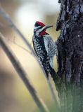 Yellow-bellied Sapsucker on a tree, doing as his name infers. Royalty Free Stock Photo