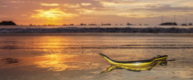 Yellow Bellied Sea Snake. On the sand during sunset in Costa Rica royalty free stock photography