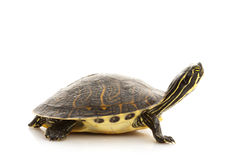 Yellow-bellied Slider Stock Photography