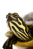 Yellow-bellied Slider Stock Photos