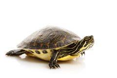 Yellow-bellied Slider Royalty Free Stock Photos