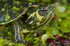 Yellow-bellied Slider Royalty Free Stock Photo