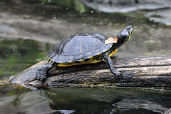 Yellow Bellied Slider Basking Stock Photo