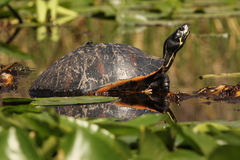 Yellow Bellied Slider - Okefenokee Swamp Stock Images