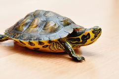 Yellow-bellied slider Stock Images