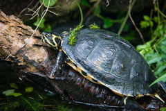 Yellow bellied slider Royalty Free Stock Photos