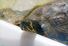 Yellow-bellied slider. The yellow-bellied slider (Trachemys scripta scripta) is a land and water turtle belonging to the family Emydidae. This subspecies of pond Royalty Free Stock Photos