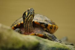 Yellow-Bellied Slider (Trachemys Scripta Scripta). This turtle you can find in the south of the USA Royalty Free Stock Photos