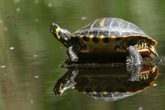 A pretty Yellow-bellied Slider Trachemys scripta scripta or water Turtle standing on a log in the water. Its reflection showing royalty free stock images