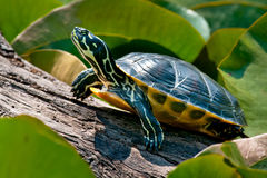 Yellow-bellied Slider Turtle Royalty Free Stock Photo