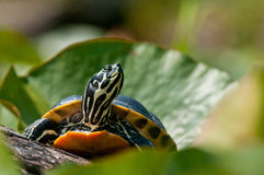 Yellow-bellied Slider Turtle Royalty Free Stock Image