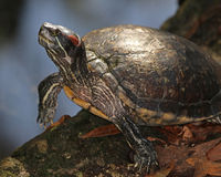 Yellow-bellied slider turtle. Climbing on a log along the edge of a small pond Royalty Free Stock Photo