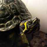 Yellow Bellied Slider Turtle stock photos