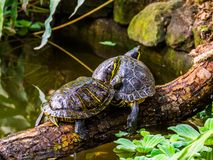 Yellow bellied slider turtle couple at the water, popular tropical pets from America stock images
