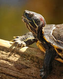 Yellow-bellied slider turtle Stock Photo