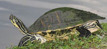 Yellow Bellied Slider Turtle Stock Images