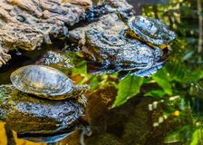 Yellow bellied slider turtle at the water side, laying on a rock, popular reptile pet from the rivers of America. A yellow bellied slider turtle at the water royalty free stock photography