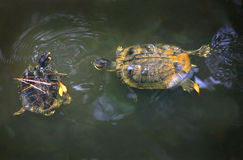 Yellow Bellied Slider Turtles. Two Yellow Bellied Slider turtles chase each other in a small pond at Owls Creek Salt Marsh Preserve at Virginia Beach, VA. They Stock Image