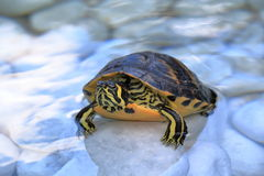 Yellow-bellied slider in a water Royalty Free Stock Images