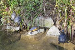 Yellow bellied sliders, turtles or terrapins, Trachemys scripta Royalty Free Stock Image