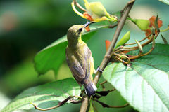 Yellow-bellied Sunbird Royalty Free Stock Photo