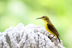 Yellow bellied sunbird Stock Images