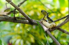 Yellow-bellied sunbird. Banana and  Yellow-bellied sunbird Stock Photo