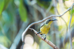 Yellow-bellied Sunbird Royalty Free Stock Photos