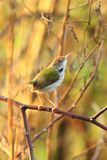 Yellow-bellied sunbird stand on branch in Inthanon Mountain, Chi Stock Photography
