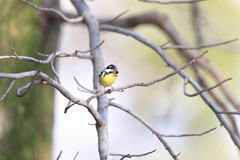 Yellow-bellied Tit Stock Image
