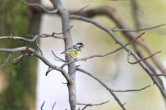 Yellow-bellied Tit Royalty Free Stock Images