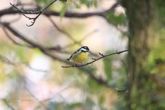 Yellow-bellied Tit Stock Images