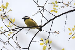Yellow-bellied Tit Stock Photo
