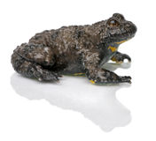 Yellow-Bellied Toad, Bombina variegata Royalty Free Stock Image