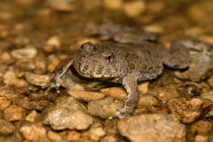 Yellow-bellied toad bombina variegata. European fire-bellied toad in pond with brown water on the mountain Royalty Free Stock Photo