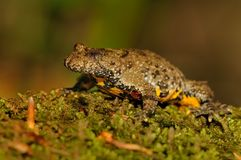 The yellow-bellied toad (Bombina variegata) Royalty Free Stock Photos