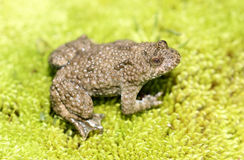 Yellow bellied toad (frog) on green moss Royalty Free Stock Image