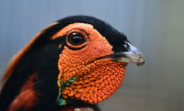 Yellow-bellied Tragopan. Yellow - bellied Tragopan head close-up Royalty Free Stock Images