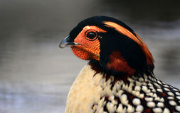 Yellow-bellied Tragopan. Yellow - bellied Tragopan head close-up Stock Photography