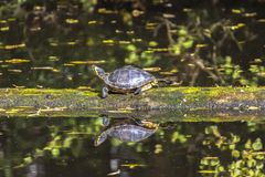 Yellow Bellied Turtle Walking On A Log Floating In Water stock images