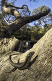 Yellow-Bellied Water Skink (Eulamprus heatwolei) Royalty Free Stock Image
