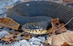 Yellow-bellied Watersnake Royalty Free Stock Photography